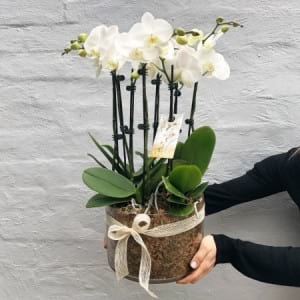 Large Orchid Plant 3