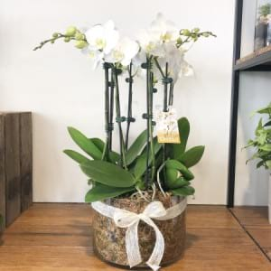 Large Orchid Plant 4