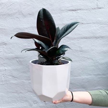 Baby Rubber Tree